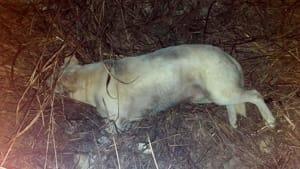 Il cane rinvenuto a Salice-Veglie(1)-2