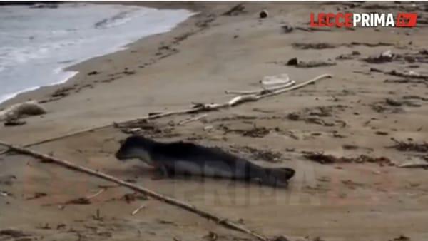Video   Il meraviglioso avvistamento, la foca monaca sulle spiagge del Leccese