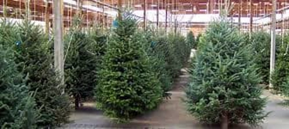 Albero Di Natale Vero.Vediamo A Lecce I Pro E I Contro Di Un Albero Di Natale Vero E Artificiale